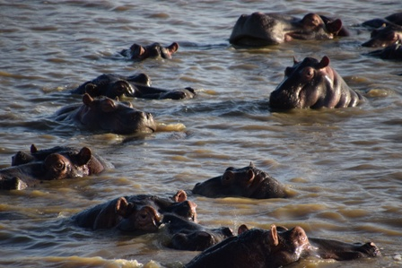 Lots of hippos